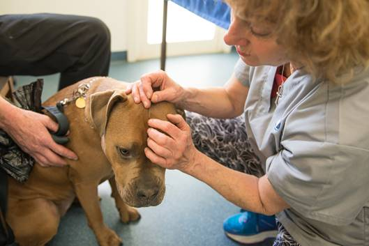 Dr Nevill puts needles in dog