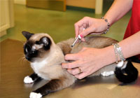 cat being vaccinated